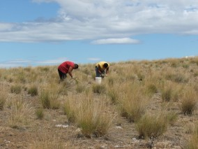 Collecting bluebunch wheatgrass seed, picture by K. Strathmann
