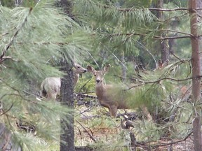 Deer in hiding, picture by H. Simmons-Rigdon