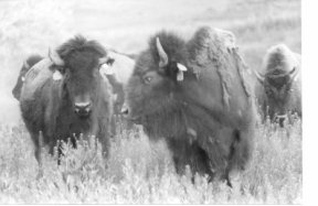 Buffalo with tags