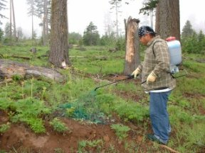 Spraying herbicide to protect tree seedlings post-harvest South Fork sale, picture by J. Newquist